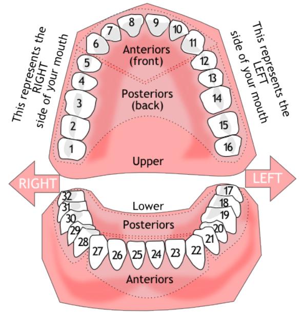 Botox Dental Diagram