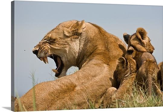 lioness protecting her cub quotes  quotesgram