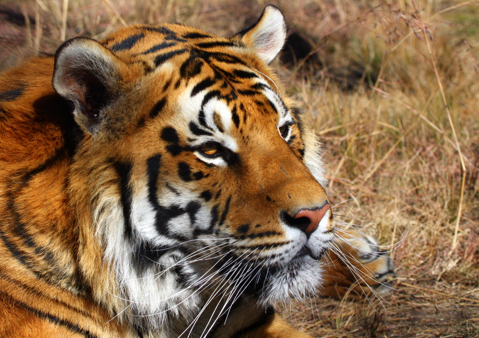 Quotes About Endangered Tigers. QuotesGram