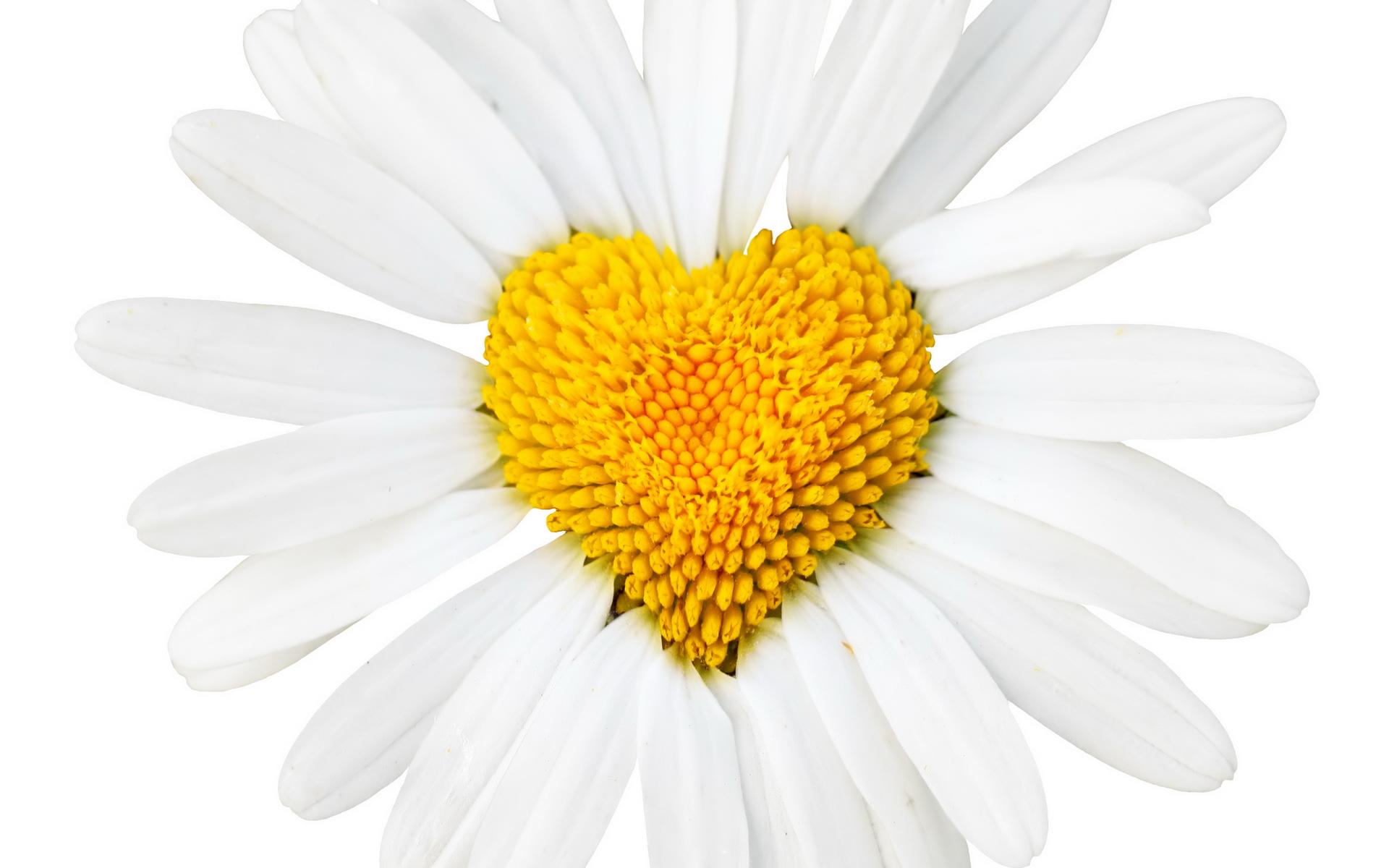 Daisy Flower Quotes Quotesgram
