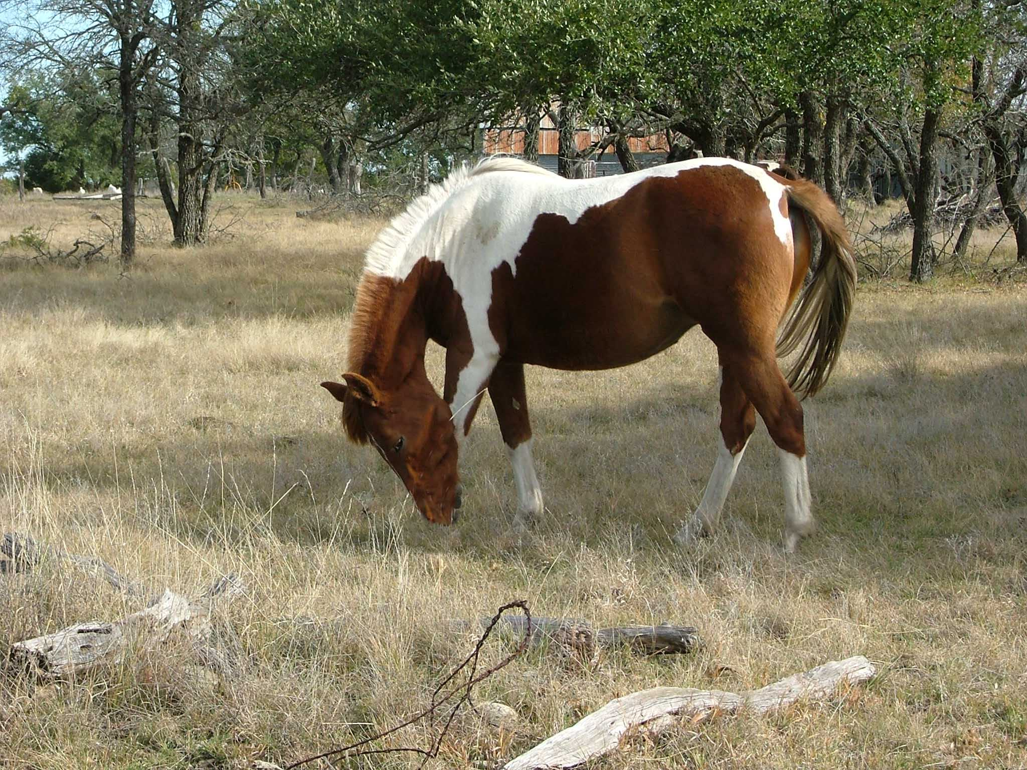 Paint Horses For Sale In Usa