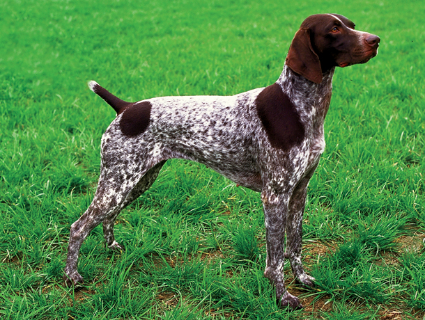 German Shorthaired Pointer Best Hunting Dogs