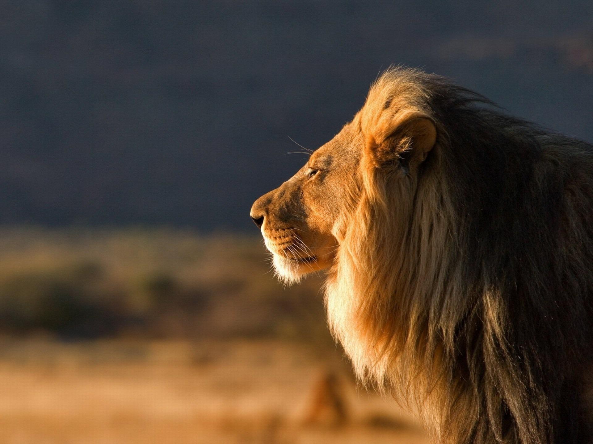 Black Lion Images Quotes Quotesgram