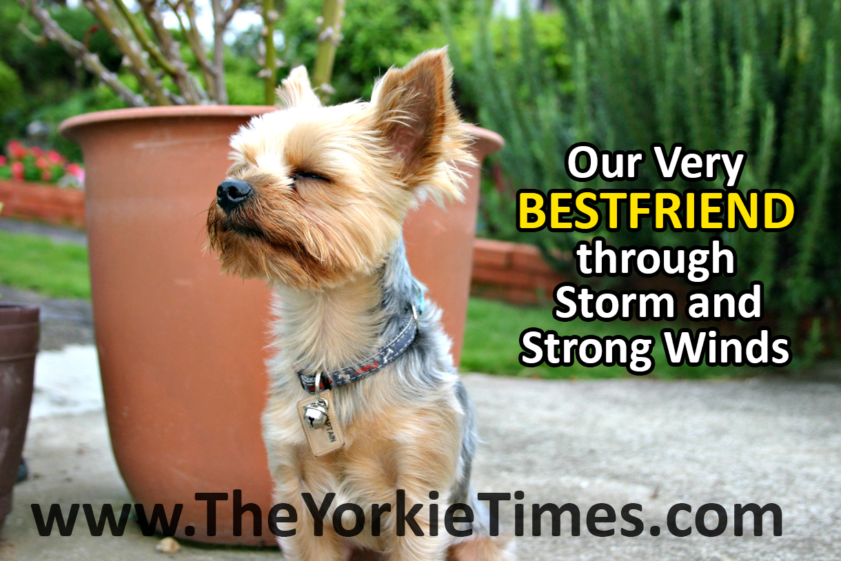 yorkie quotes yorkshire terrier quotes quotesgram 6992