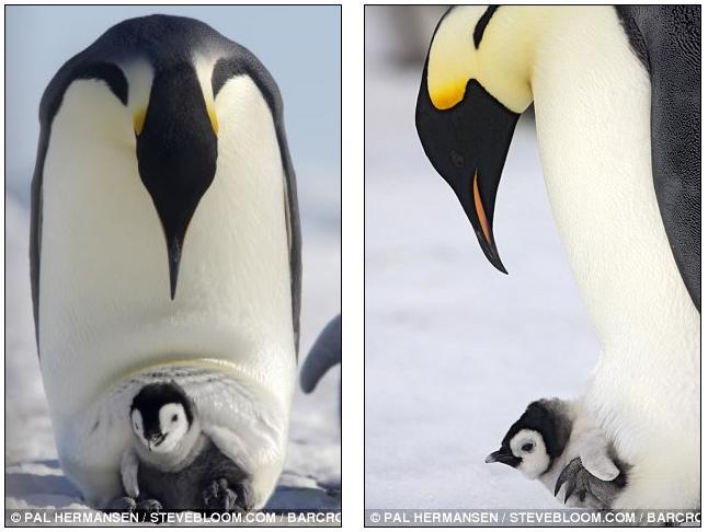 Baby Penguin Quotes Quotesgram