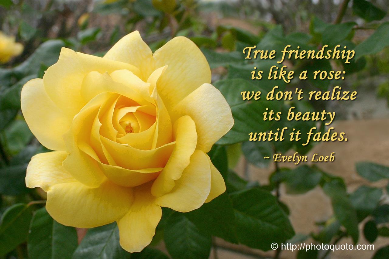 Yellow Rose Friendship Quotes Quotesgram