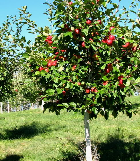 how to make an apple tree osrs