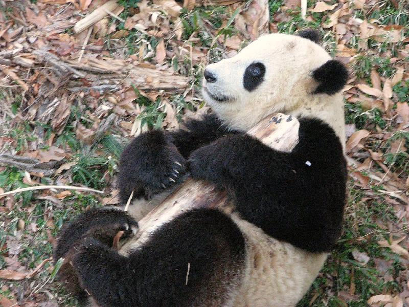 Panda Bear Funny Quotes. QuotesGram  Panda Bear Funn...
