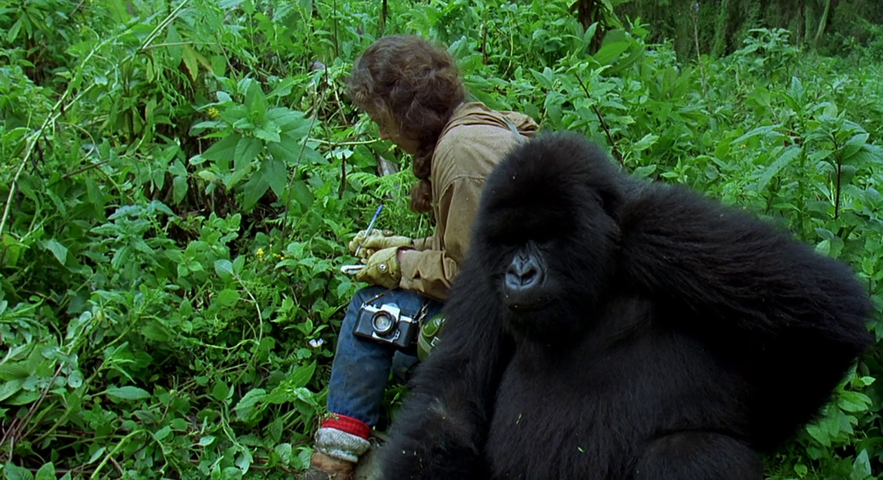 gorillas in the mist Watch gorillas in the mist (1988) free online - sigourney weaver stars as dian fossey, in this true story about fossey's study of gorillas, and her efforts to stop the decimation of the endangered apes.