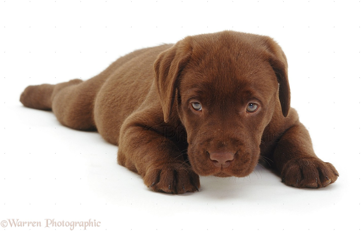 Chocolate Lab Show Dog