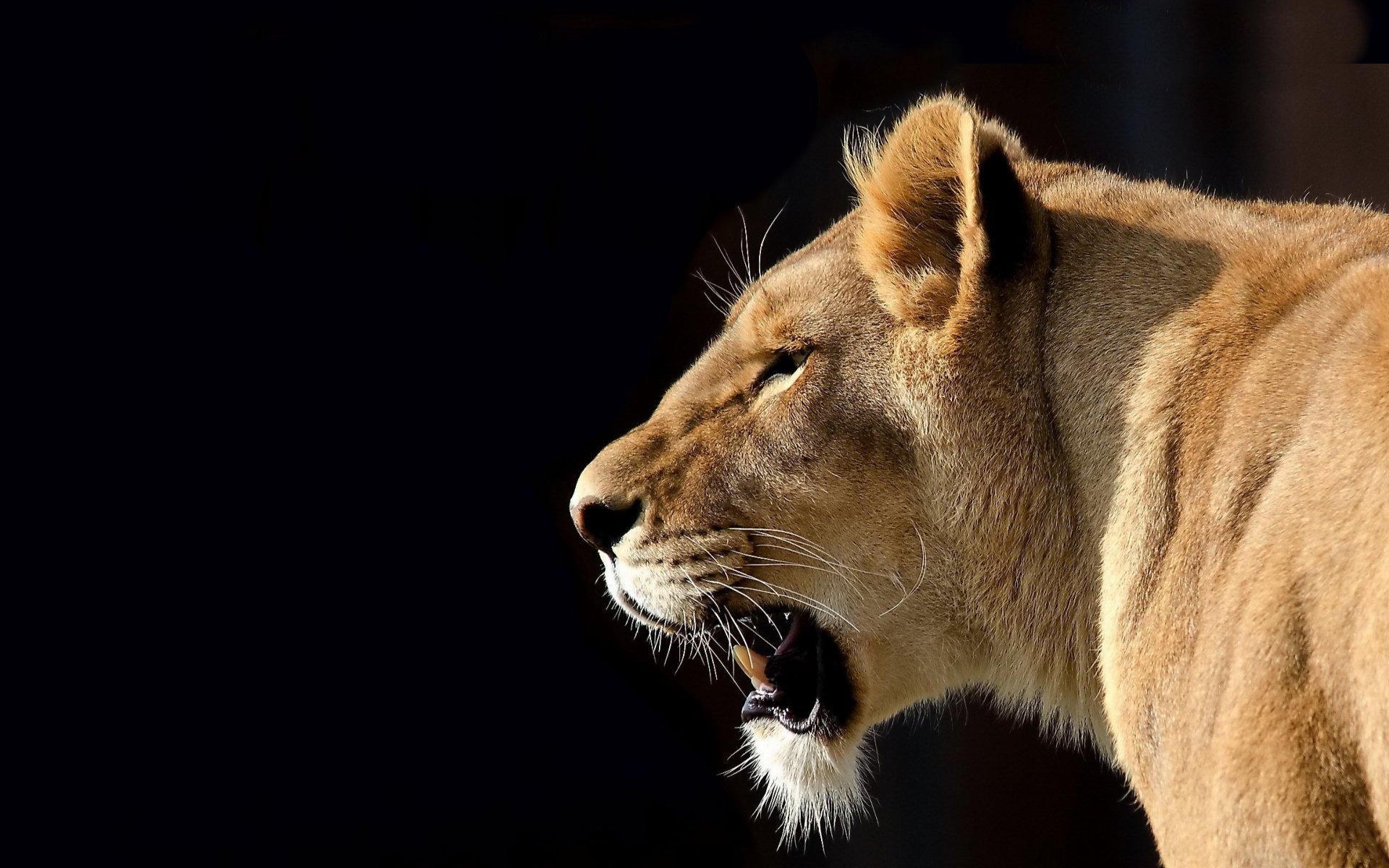 Cute Lioness Quotes. QuotesGram