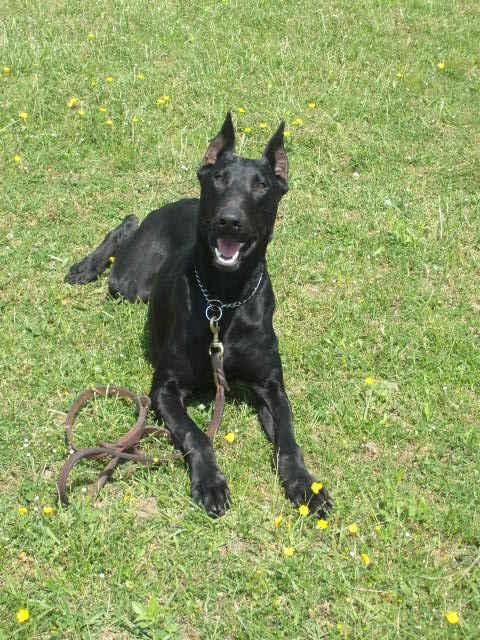 Doberman Dog Puppies In Black