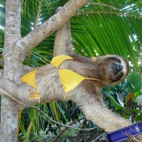 Sloth quotes to girls quotesgram - Funny sloth pics ...