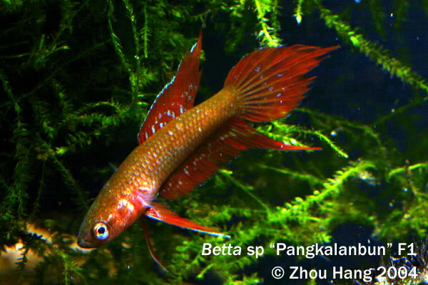 Betta fish quotes quotesgram for Lifespan of a betta fish in captivity