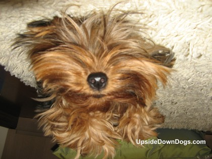 Funny Yorkie Quotes Quotesgram