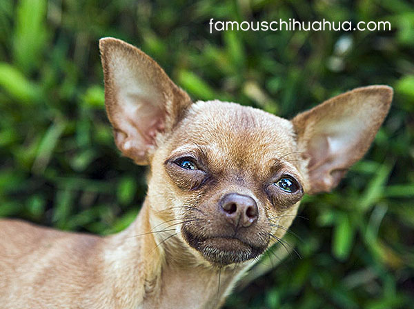 Quotes About Being Tiny Chihuahua Quotesgram
