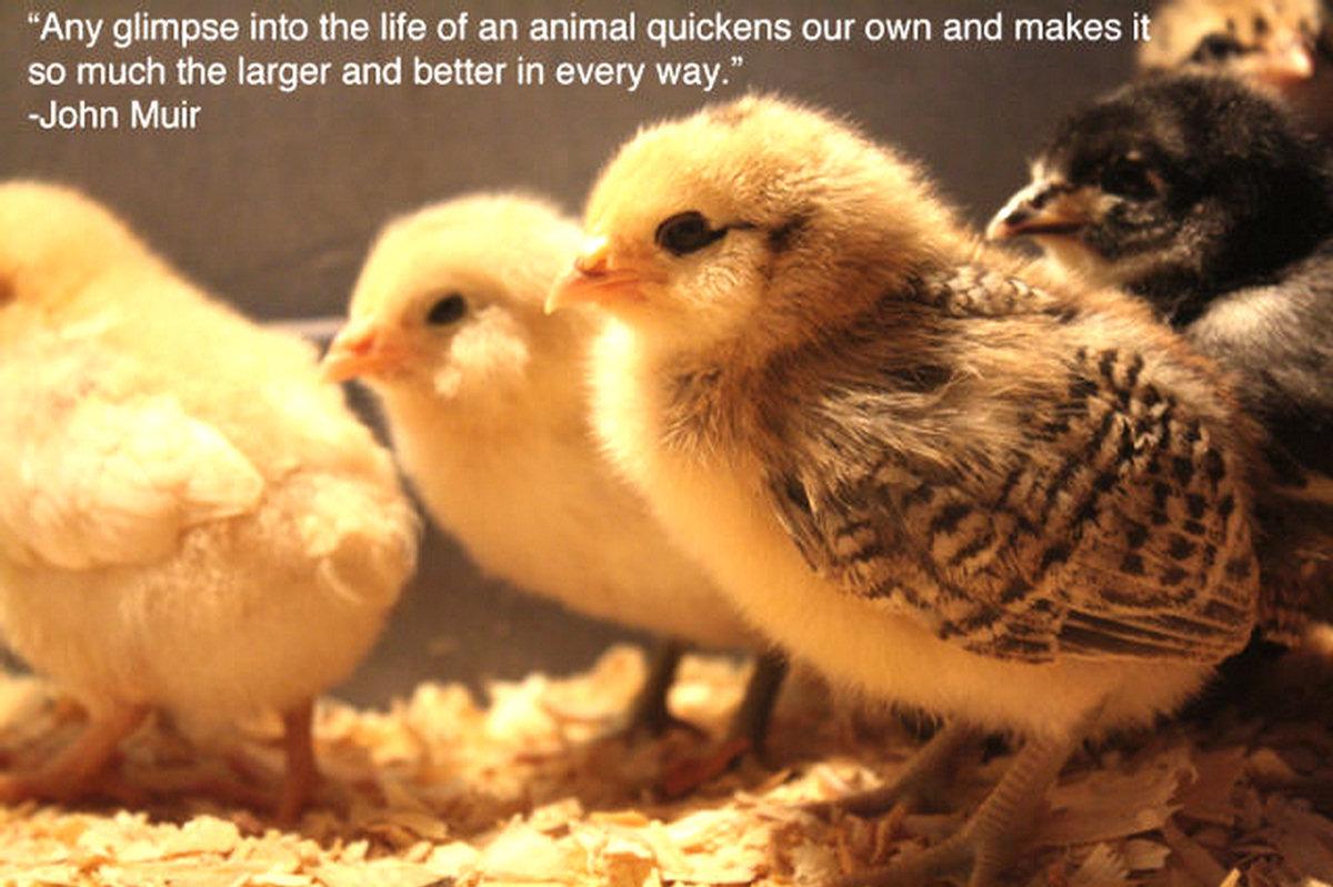 Funny Chicken Quotes Quotesgram: Clean Funny Animal Quotes. QuotesGram
