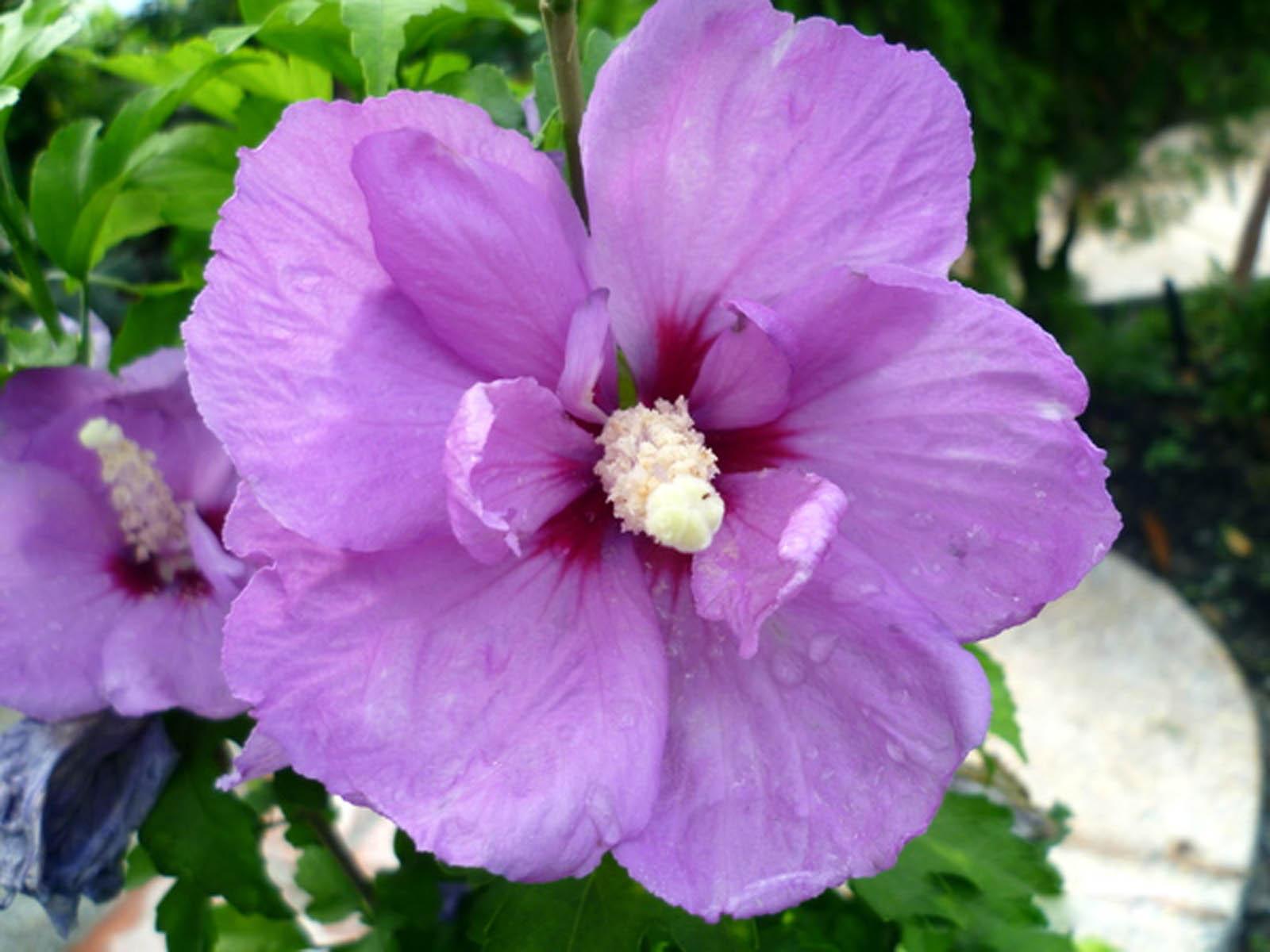 Purple Hibiscus Quotes QuotesGram