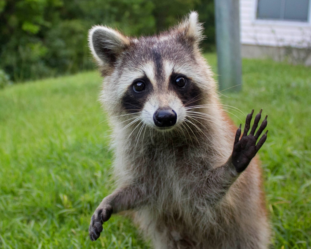 Funny Raccoon Quotes Quotesgram