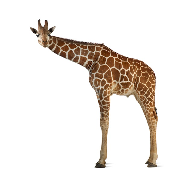 Fat Giraffe Quotes. QuotesGram