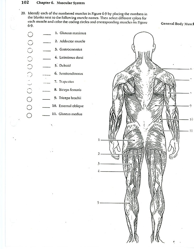 - Anatomy Coloring Pages Muscles Azspringtrainingexperience
