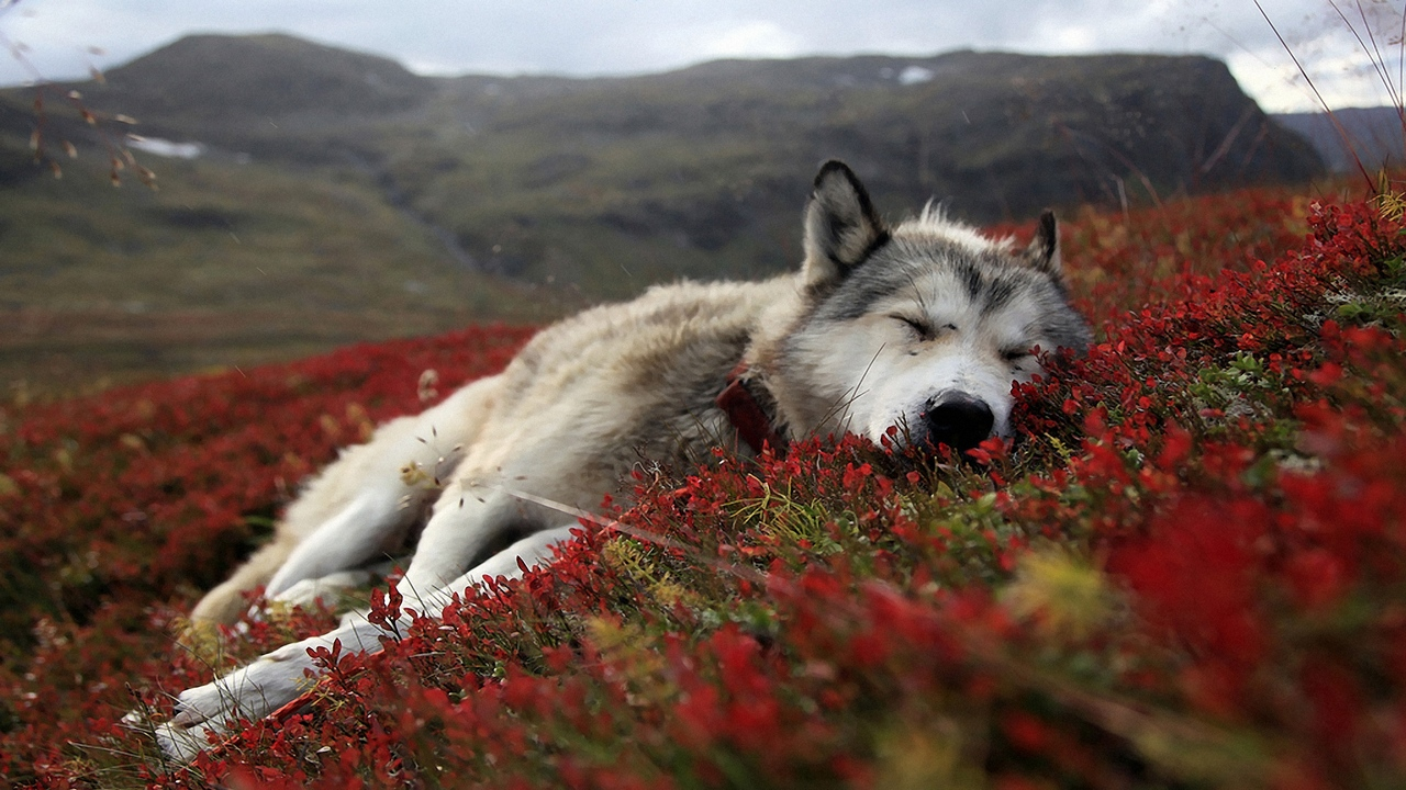 Lion Quotes And Sayings Death Wolves Quotes. Q...