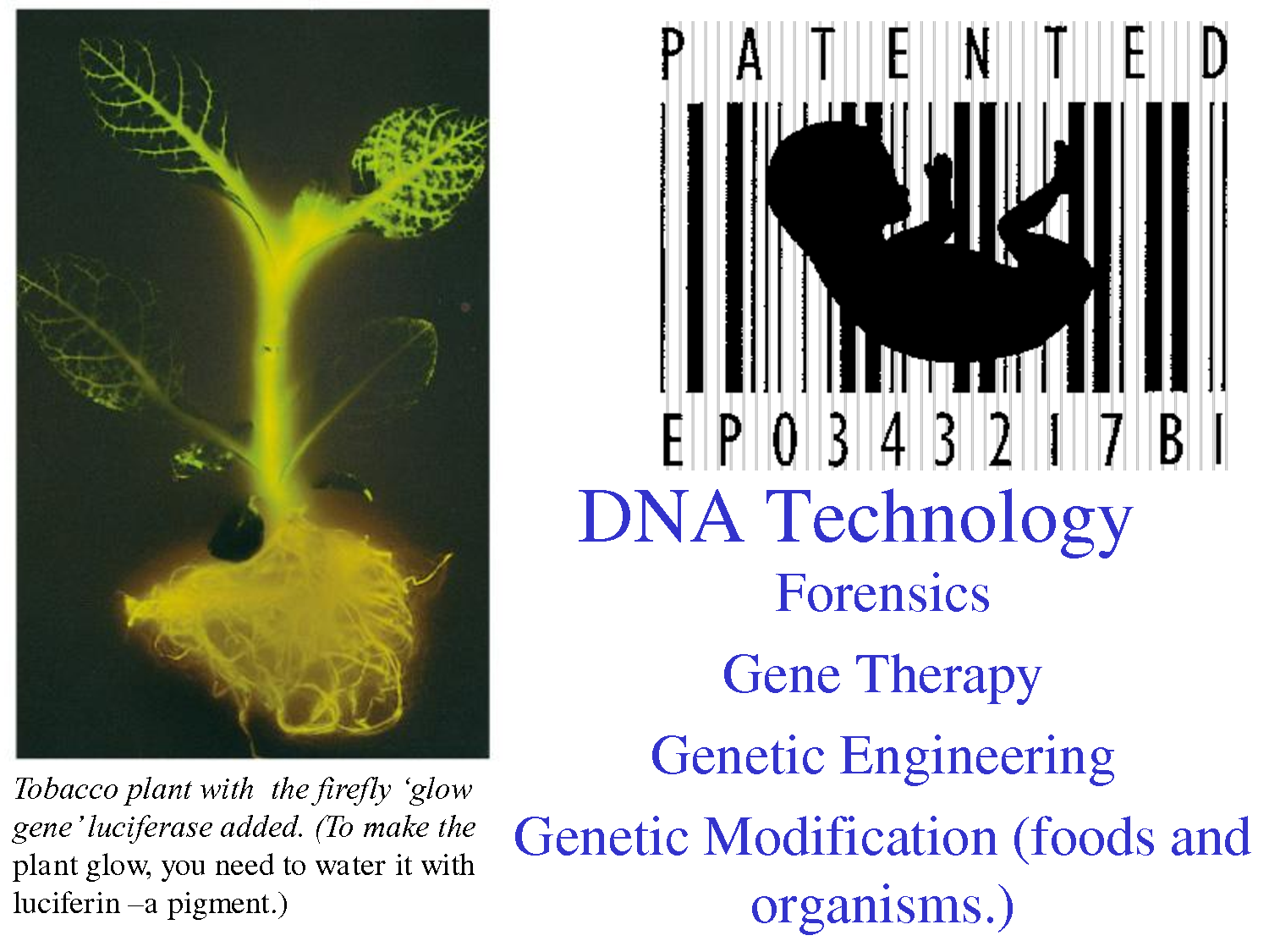 genetic engineering A secondary school revision resource for ocr gateway gcse additional science about living, growing, selective breeding and genetic modification.
