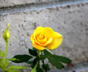 Yellow Roses Him Her With