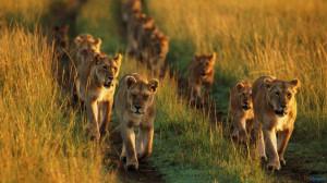 Lion Family Running In Lions 1600×900 Wallpaper