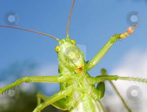 green funny grasshopper stock photo the green funny grasshopper on