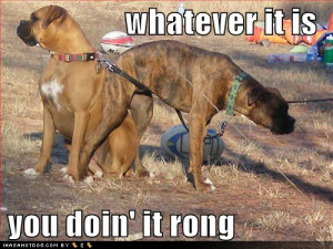 boxer dogs info female boxer dogs pictures of boxer dogs boxer dogs ...