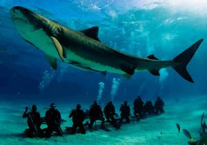 shark sharks marine biology tiger shark galeocerdo cuvier tiger beach