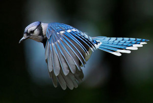 beautiful blue bird flying feathers