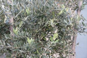 olive tree varieties