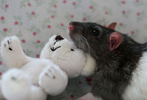Pet Rats Posing With Teddy Bears is Way Cuter Than You'd Think