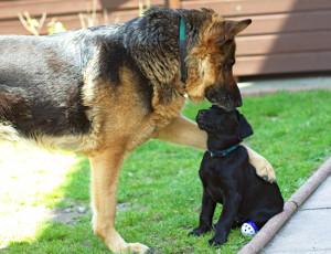 german shepherd lab puppy.png