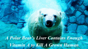 polar-bear-animal-quotes-facts