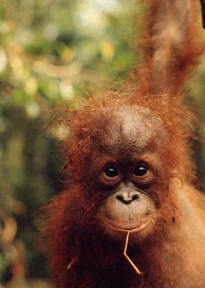 Funny Quotes Baby Orangutan 620 X 620 100 Kb Jpeg
