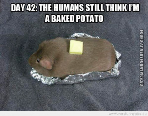 Funny Picture - Hamster day 42 the human still think i'm a baked ...