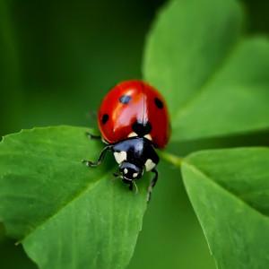 download high quality hd ladybug on clover crop wallpaper for desktop