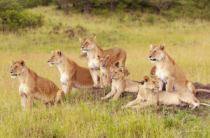 African Lions Pride