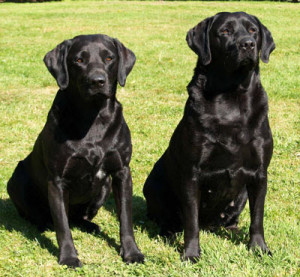 Solid Black Lab and Labrador Retrievers Pictures