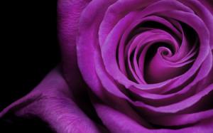 wallpaper black and purple rose wallpapers categories rose downloads ...