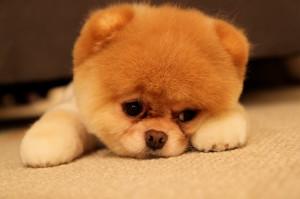 Boo The Dog sad 150x150