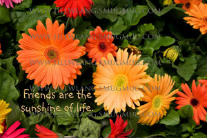 Gerber Daisies - Friends Quote Friends are the sunshine of life
