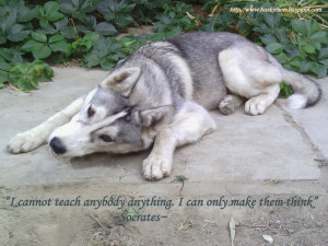 funny husky pictures are our dog neo he is siberian husky in this ...
