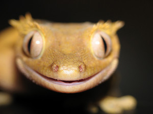 funny animals, funny crested gecko