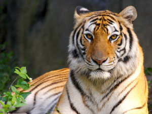 most beautiful animal tiger wallpaper