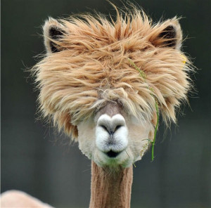 The 22 most hilarious alpaca hairstyles ever. They probably are more ...