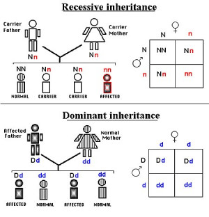 Dominant And Recessive Trait Chart